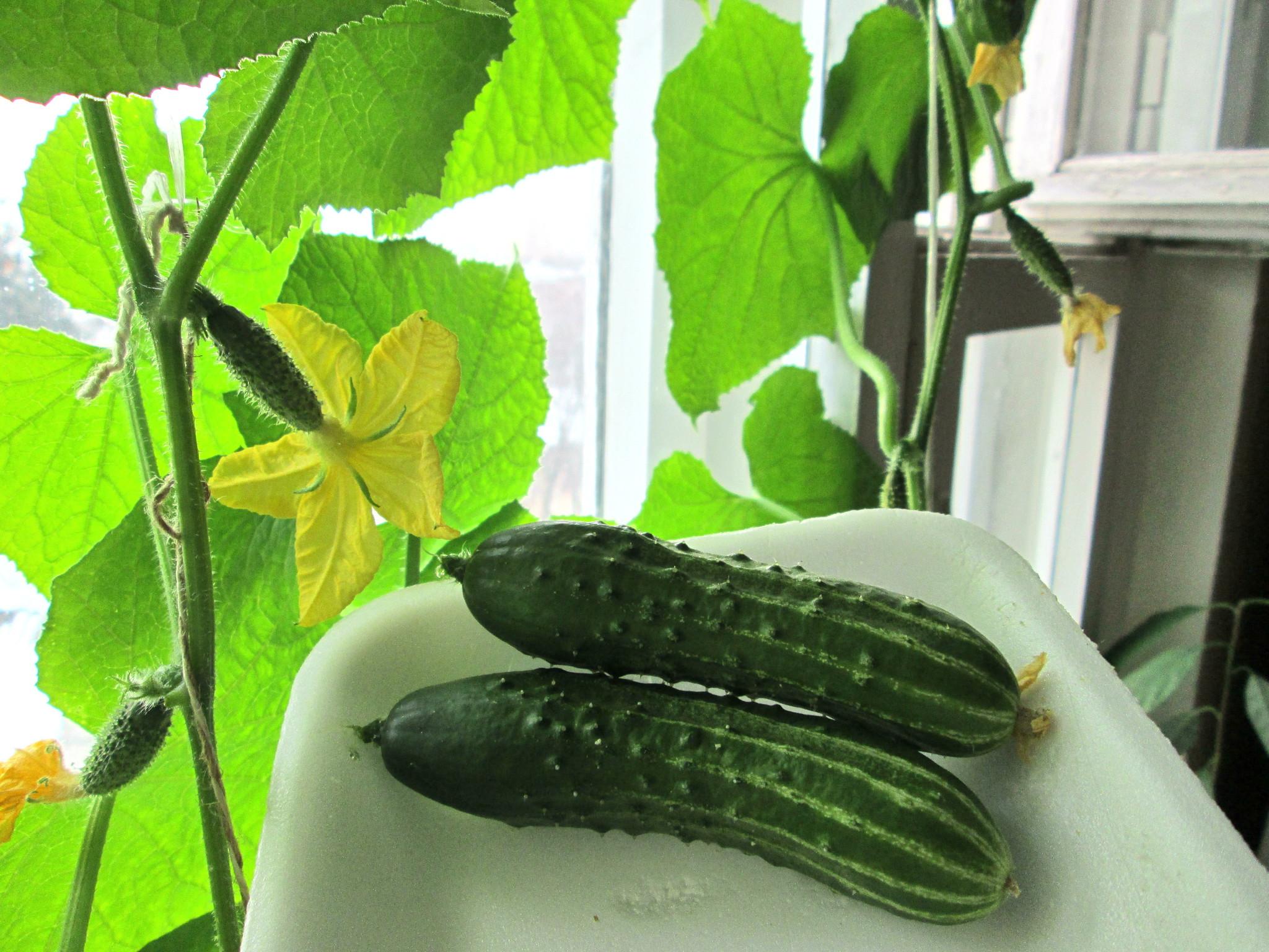 Выращивание огурцов зимой в теплице: рекомендации садоводов 23