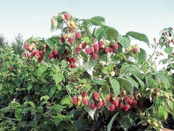 Ремонтантная малина выращивание в подмосковье 43
