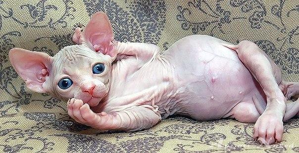 Рахит у котенка донского сфинкса