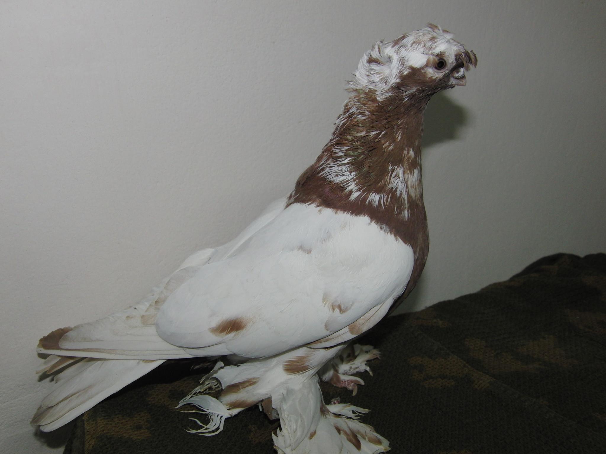 узбекские голуби фото с названиями сардор для меня