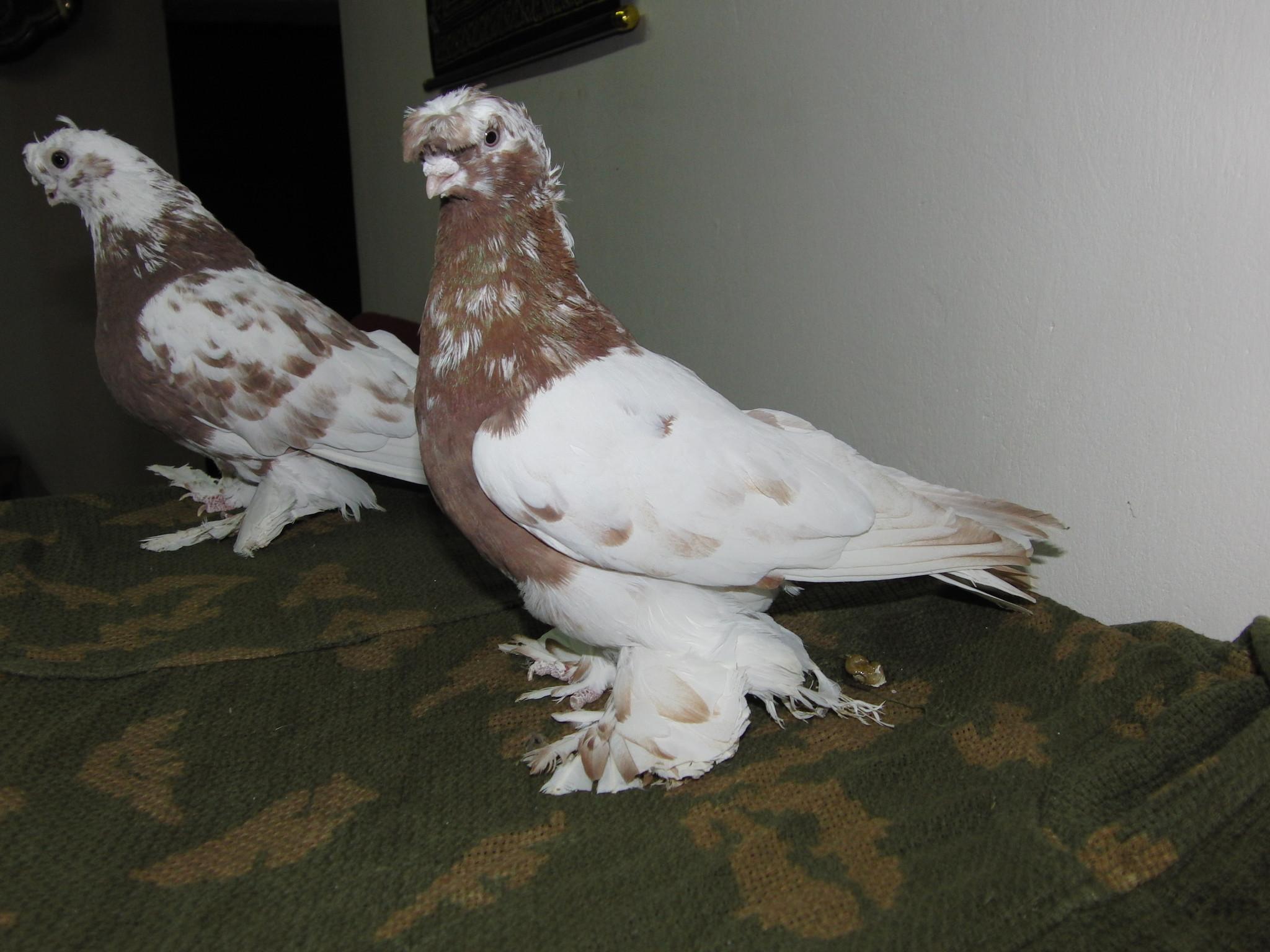 мощь гималаев узбекские голуби фото с названиями писали сети, что